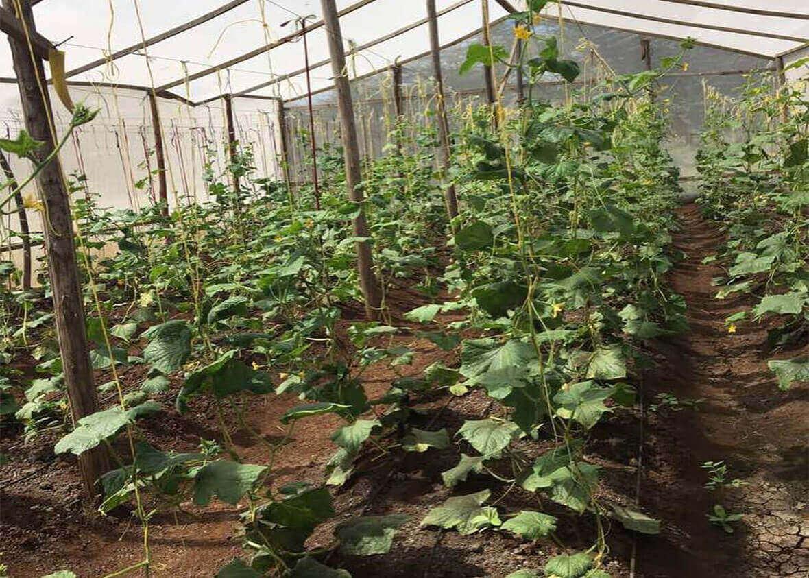 Rows of healthy plants growing in Bandari greenhouse