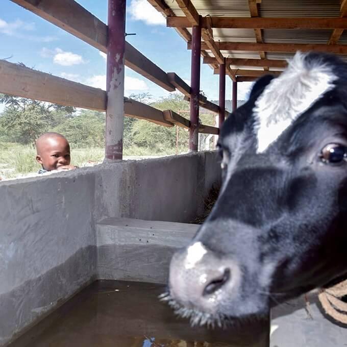Bandari student looking at cow in pen