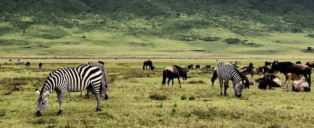 Zebra and wildebeest eating grass in Nogogoro crater, Tanzania